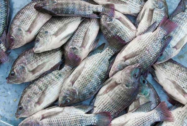 tilapia-peixe