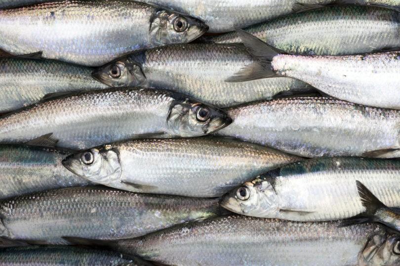 Arenque peixe para perda de peso