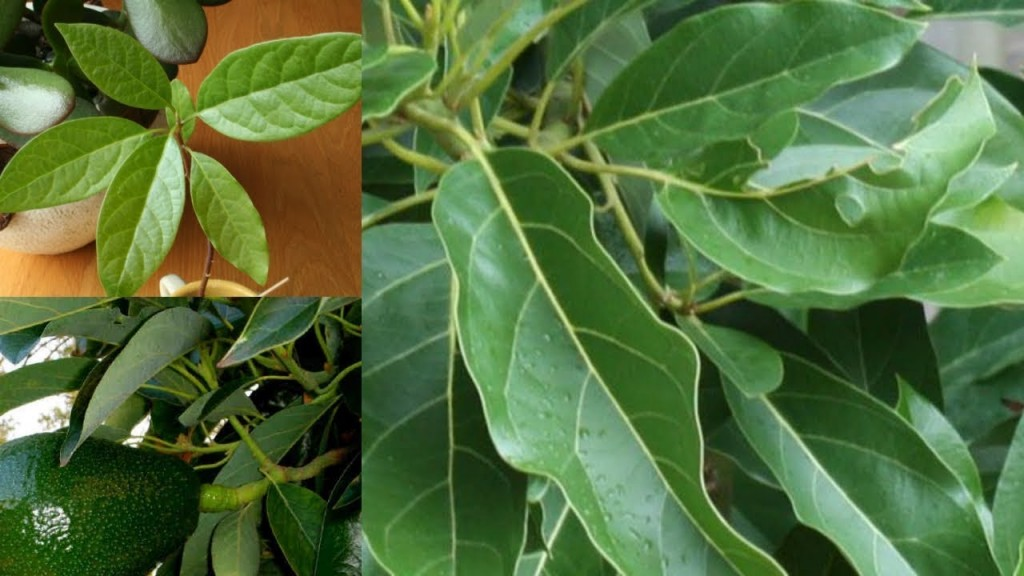 folha de abacate