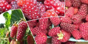 quais os benefícios da loganberry?