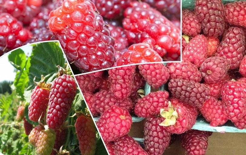 Os 10 Benefícios da Loganberry Para Saúde