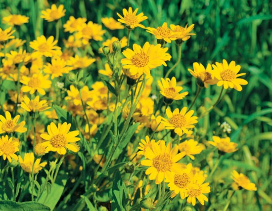 beneficios da arnica