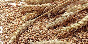 grao de trigo