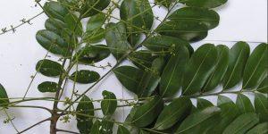 benefícios do chá de marupá