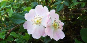 cha de rosa silvestre