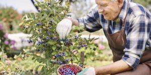 como prevenir a doença de alzheimer usando os mirtilos