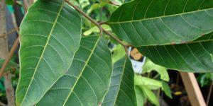 Folha de Rambutan