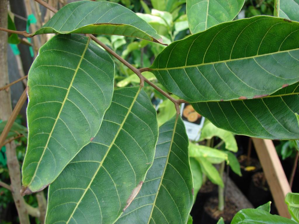 Os 10 Benefícios da Folha de Rambutan Para Saúde