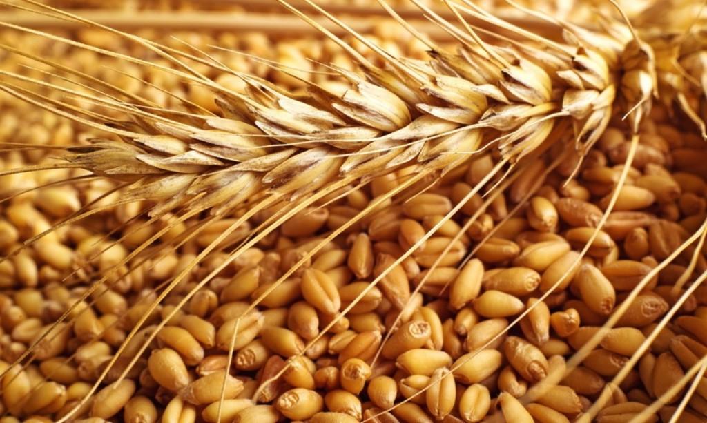beneficios do grao de trigo