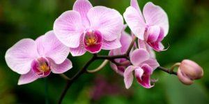 orquídea beneficios