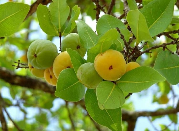 quais os benefícios da uvaia para saúde?