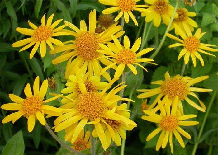 arnica beneficios