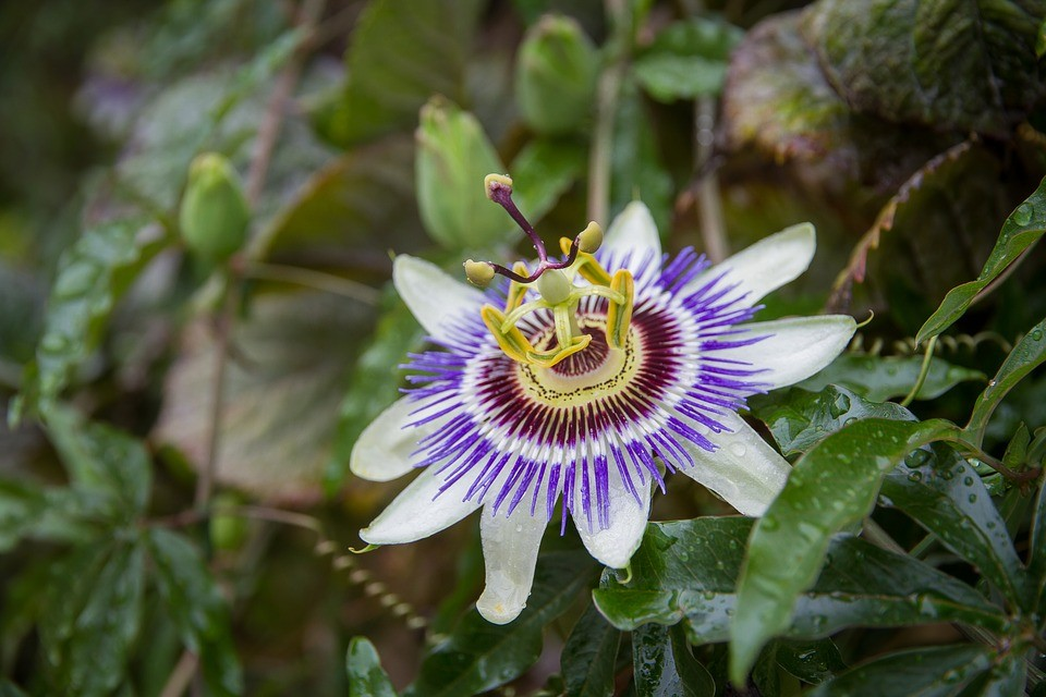 beneficios da flor da paixao