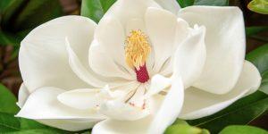 flor de magnólia
