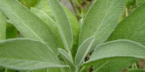 beneficios da salvia