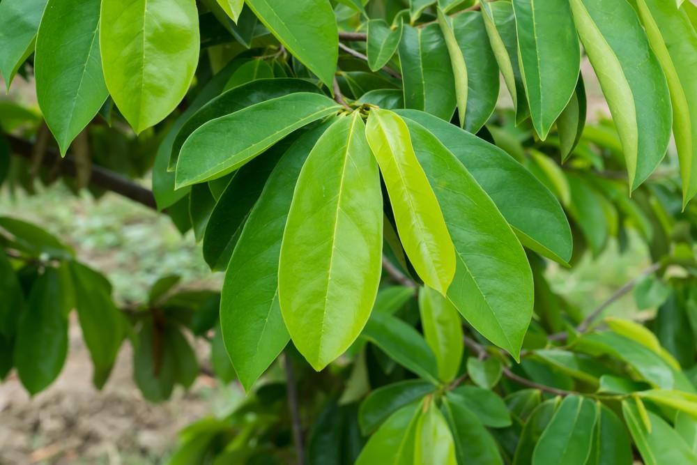 beneficios das folhas de graviola
