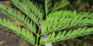 beneficios das folhas de leucena