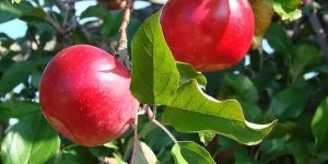 beneficios das folhas de maça