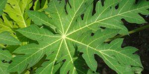 usos benéficos das folhas de mamão