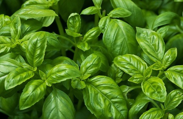 benefícios das folhas de manjericão