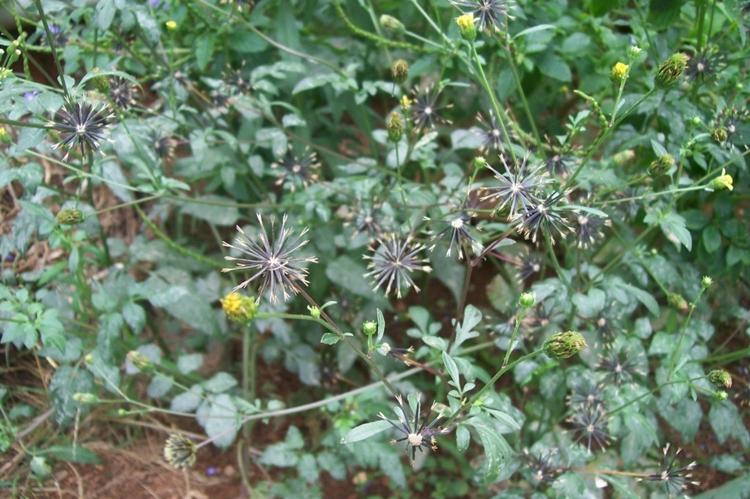 potenciais benefícios medicinais do picão preto