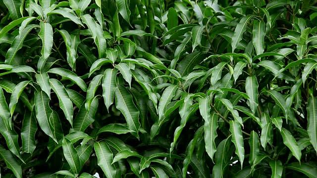 folhas de manga
