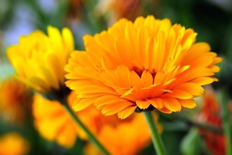 calendula beneficios