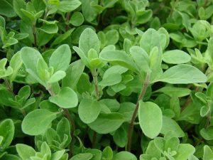 folhas de oregano