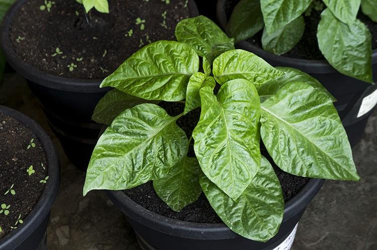 folhas de pimenta