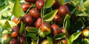 beneficios da fruta de jujuba