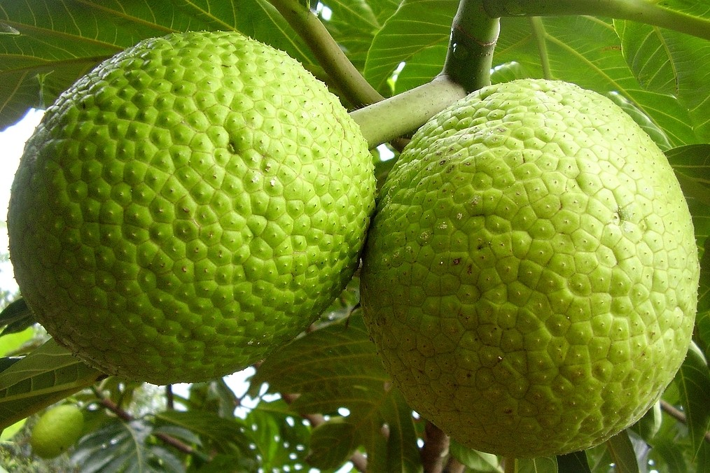 benefícios do suco de fruta pao