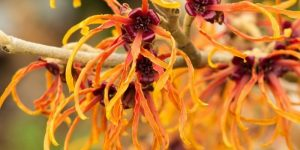 beneficios da hamamelis