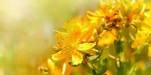 planta hipérico