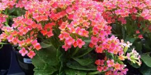 kalanchoe beneficios