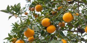 laranja amarga