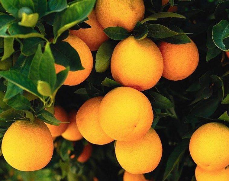 beneficios da laranja da terra