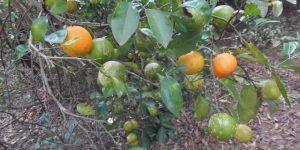 quais os benefícios do limão bravo?