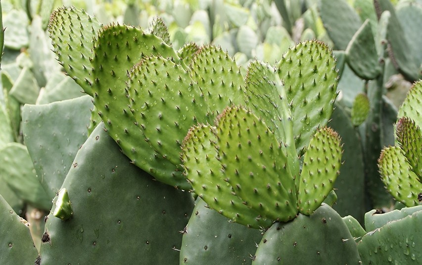 nopal-beneficios