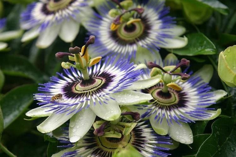 quais as principais propriedades da passiflora?