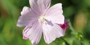 planta Marshmallow
