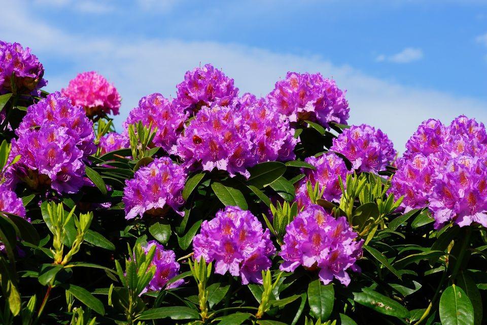 rododendro beneficios