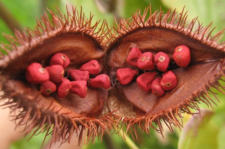 sementes de colorau