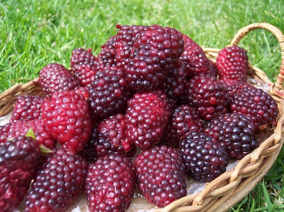 quais os benefícios do tayberry?