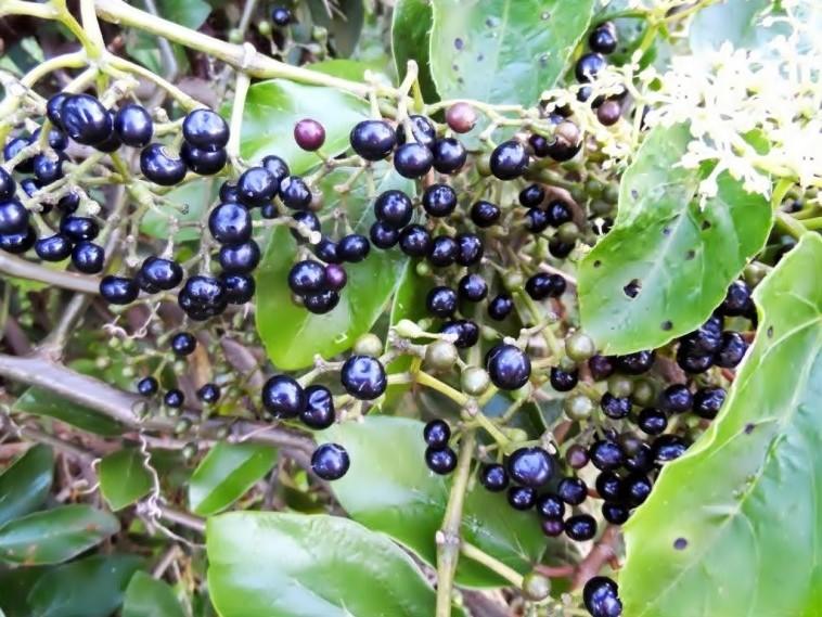 uva do mato