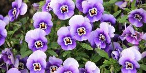 propriedades medicinais da violeta
