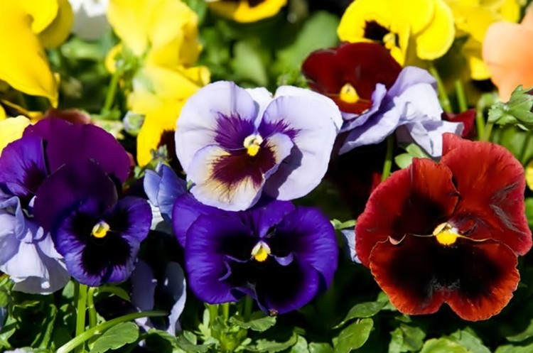 planta amor perfeito
