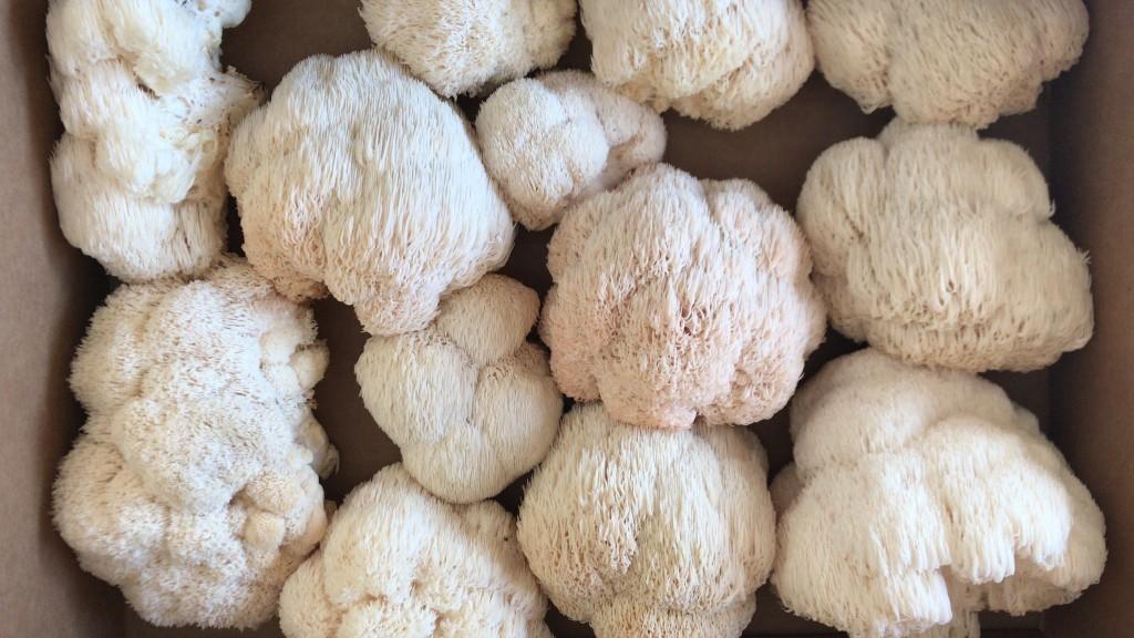 benefícios do cogumelo juba de leão