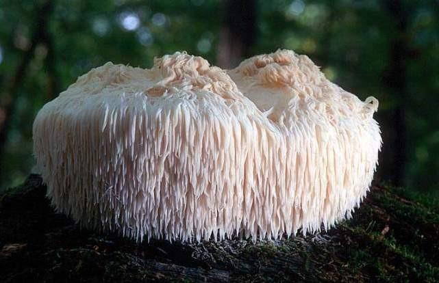 cogumelo juba de leao beneficio