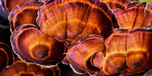 Benefícios do Cogumelo Reishi